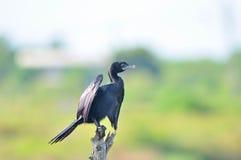 Λίγο πουλί κορμοράνων Στοκ φωτογραφία με δικαίωμα ελεύθερης χρήσης
