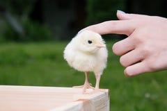 Λίγο πουλί της Τουρκίας Στοκ εικόνα με δικαίωμα ελεύθερης χρήσης
