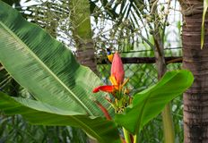 Λίγο πουλί τραγουδά στο λουλούδι μπανανών Αρσενικό ελιά-πλατών sunbird στις εξωτικές εγκαταστάσεις Στοκ Εικόνες