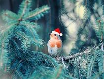 Λίγο πουλί Robin στην κόκκινη ΚΑΠ συνεδρίαση Χριστουγέννων στους κλάδους ο στοκ φωτογραφία με δικαίωμα ελεύθερης χρήσης