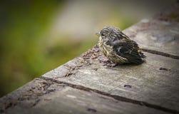 Λίγο πουλί στοκ φωτογραφίες