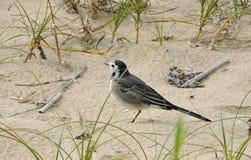 Λίγο πουλί wagtail Στοκ Εικόνα