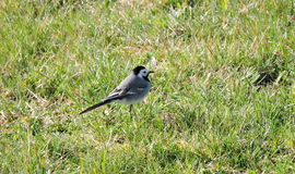 Λίγο πουλί wagtail Στοκ Εικόνες