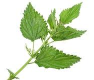 λίγο πράσινο βγάζει φύλλα nettle Στοκ Φωτογραφία