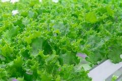 Λίγο πράσινο δρύινο μαρούλι με το υδροπονικό σύστημα στοκ εικόνες