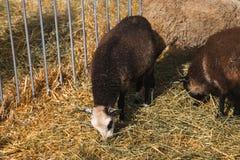 Λίγο πρόβατο σε έναν στάβλο που τρώει το σανό Στοκ Εικόνες