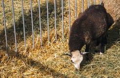 Λίγο πρόβατο σε έναν στάβλο που τρώει το σανό Στοκ εικόνες με δικαίωμα ελεύθερης χρήσης
