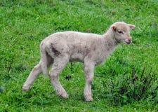 λίγο πρόβατο Στοκ Εικόνα