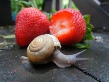 Λίγο σαλιγκάρι άφησε τη φρέσκια κόκκινη φράουλα στον υγρό ξύλινο πάγκο κήπων Στοκ Εικόνες