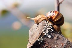 Λίγο σαλιγκάρι αναρριχείται στην κορυφή των κλάδων Στοκ Φωτογραφία