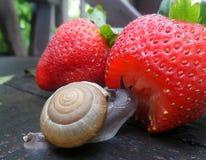 Λίγο σαλιγκάρι απολαμβάνει τη φρέσκια κόκκινη φράουλα στον υγρό ξύλινο πάγκο κήπων Στοκ Εικόνες