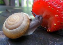 Λίγο σαλιγκάρι και μια φρέσκια κόκκινη φράουλα στον υγρό ξύλινο πάγκο κήπων Στοκ εικόνα με δικαίωμα ελεύθερης χρήσης