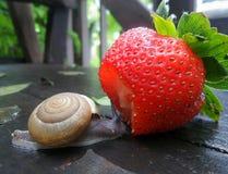 Λίγο σαλιγκάρι και μια φρέσκια κόκκινη φράουλα στον υγρό ξύλινο πάγκο κήπων Στοκ Εικόνες