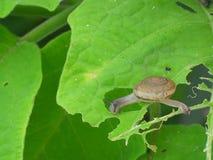 Λίγο σαλιγκάρι που κρατά το πράσινο φύλλο για την κατοχή του γεύματος στοκ εικόνα με δικαίωμα ελεύθερης χρήσης