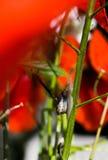 Λίγο σαλιγκάρι που σέρνεται επάνω στο μίσχο του κόκκινου λουλουδιού παπαρουνών Στοκ Φωτογραφία