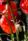 Λίγο σαλιγκάρι που σέρνεται επάνω στο μίσχο του κόκκινου λουλουδιού παπαρουνών Στοκ Φωτογραφίες