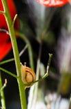 Λίγο σαλιγκάρι που σέρνεται επάνω στο μίσχο του κόκκινου λουλουδιού παπαρουνών Στοκ Εικόνες