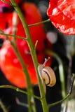 Λίγο σαλιγκάρι που σέρνεται επάνω στο μίσχο του κόκκινου λουλουδιού παπαρουνών Στοκ φωτογραφία με δικαίωμα ελεύθερης χρήσης