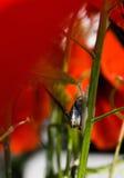 Λίγο σαλιγκάρι που σέρνεται επάνω στο μίσχο του κόκκινου λουλουδιού παπαρουνών Στοκ εικόνα με δικαίωμα ελεύθερης χρήσης