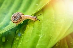 Λίγο σαλιγκάρι που σέρνεται στο πράσινο φύλλο με τις πτώσεις του νερού μια ηλιόλουστη ημέρα Στοκ φωτογραφία με δικαίωμα ελεύθερης χρήσης