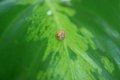 Λίγο σαλιγκάρι που στηρίζεται στο δονούμενο πράσινο φύλλο Στοκ φωτογραφία με δικαίωμα ελεύθερης χρήσης