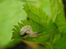 Λίγο σαλιγκάρι στο πράσινο φύλλο ενός φυτού Στοκ Εικόνες