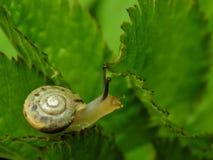 Λίγο σαλιγκάρι στο πράσινο φύλλο ενός φυτού Στοκ φωτογραφία με δικαίωμα ελεύθερης χρήσης