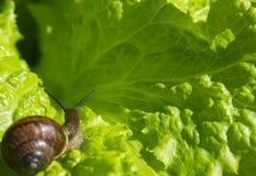 Λίγο σαλιγκάρι στο φύλλο του μαρουλιού Στοκ Εικόνες