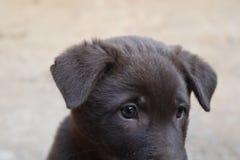 Λίγο σκυλί καφετί και τα μάτια Στοκ φωτογραφία με δικαίωμα ελεύθερης χρήσης