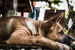 Λίγο σκυλί, καφετί σκυλί Στοκ Φωτογραφίες