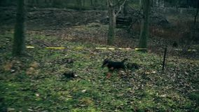 Λίγο σκυλί στις άγρια περιοχές, που ψάχνουν τα τρόφιμα φιλμ μικρού μήκους