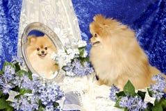 Λίγο σκυλί Pomeranian εξετάζει τον καθρέφτη απεικονίζει Στοκ φωτογραφίες με δικαίωμα ελεύθερης χρήσης