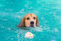 Λίγο σκυλί λαγωνικών που κολυμπά στη λίμνη στοκ φωτογραφίες