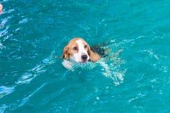 Λίγο σκυλί λαγωνικών που κολυμπά στη λίμνη στοκ εικόνα με δικαίωμα ελεύθερης χρήσης