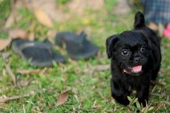 Λίγο σκυλί κουταβιών που περπατά στη χλόη Στοκ Εικόνα
