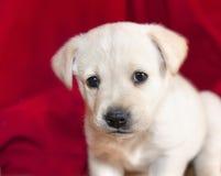 Λίγο σκυλί σε ένα κόκκινο υπόβαθρο Στοκ Εικόνες