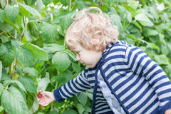 Λίγο σμέουρο επιλογής μικρών παιδιών Στοκ φωτογραφία με δικαίωμα ελεύθερης χρήσης