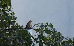 Λίγο σπουργίτι που στηρίζεται σε ένα φυλλώδες δέντρο Στοκ Φωτογραφία
