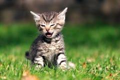 Λίγο τιγρέ γατάκι που φωνάζει καθμένος στη χλόη στο κατώφλι Στοκ Εικόνες