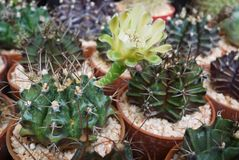 Λίγο φανταχτερό φυτό γλαστρών κάκτων με το ανθίζοντας λουλούδι για τη διακόσμηση εγχώριας κηπουρικής Στοκ Φωτογραφίες