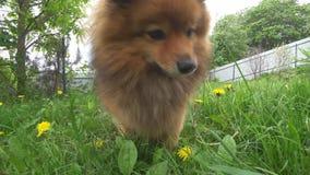 Λίγο φιλικό Spitz σκυλί στην πράσινη κινηματογράφηση σε πρώτο πλάνο χλόης ένα κόκκινο Pomeranian με τη γλώσσα του έξω απόθεμα βίντεο