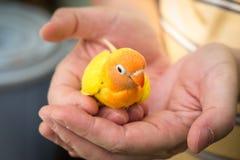 Λίγο χαριτωμένο και νέο lovebird διαθέσιμο Στοκ Φωτογραφίες