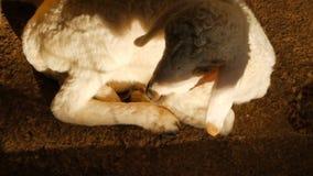 Λίγο χαριτωμένο νεογέννητο πρόβατο που σε έναν ήλιο σε ένα sheepfarm απόθεμα βίντεο