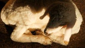 Λίγο χαριτωμένο νεογέννητο πρόβατο που σε έναν ήλιο σε ένα sheepfarm φιλμ μικρού μήκους