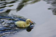 Λίγο χνουδωτή κίτρινη πάπια στη λίμνη Στοκ Εικόνες