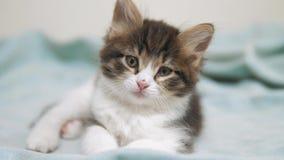 Λίγο χνουδωτό χαριτωμένο αστείο πορτρέτο γατακιών στο εσωτερικό χαριτωμένος ένα μικρό γατάκι έννοια γατών κατοικίδιων ζώων γατακι φιλμ μικρού μήκους
