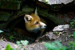 Λίγο χνουδωτή κόκκινη αλεπού στοκ φωτογραφίες με δικαίωμα ελεύθερης χρήσης