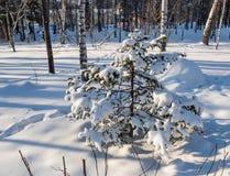 Λίγο χριστουγεννιάτικο δέντρο κάτω από το χιόνι σε ένα άλσος σημύδων στο Novosibirsk, Ρωσία στοκ εικόνα με δικαίωμα ελεύθερης χρήσης