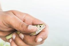 Λίγο ψάρι στα χέρια ψαράδων που απομονώνονται Στοκ εικόνες με δικαίωμα ελεύθερης χρήσης