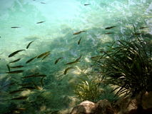 Λίγο ψάρι στο σαφές νερό Στοκ Φωτογραφίες